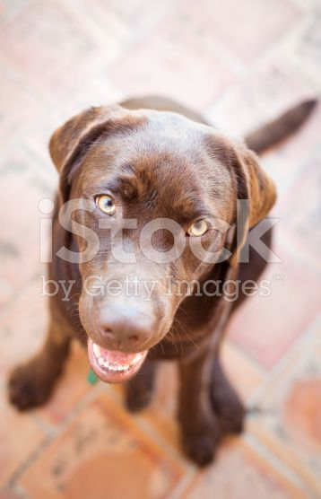 stock-photo-95226731-chocolate-labrador-retriever